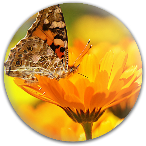 Butterfly on a Flower Dynamic Discs Fuzion Verdict Midrange Disc