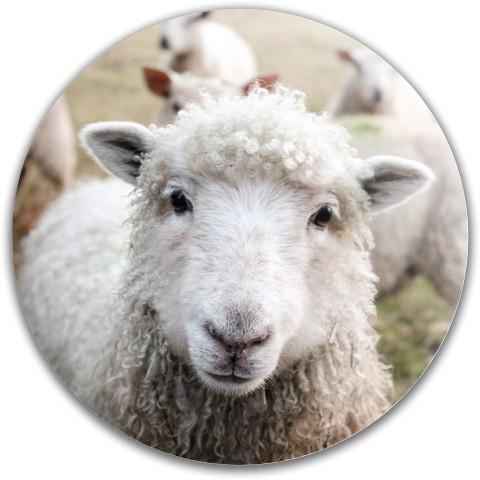 Animal Disc_Sheep Dynamic Discs Fuzion Felon Driver Disc